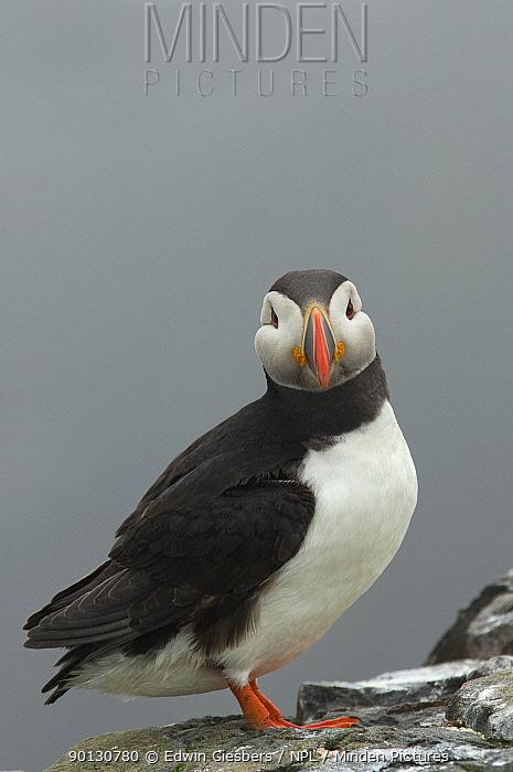 Atlantic puffin (Fratercula arctica) Farne Islands, Northumberland, UK, June  -  Edwin Giesbers/ npl