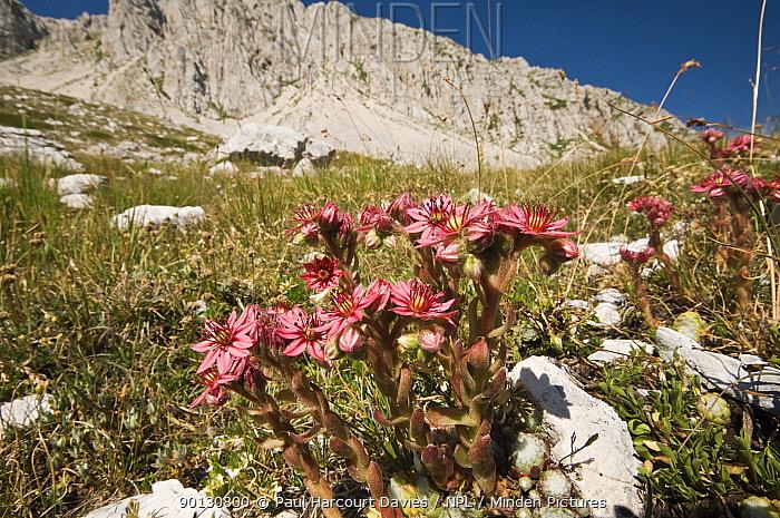 Cobweb houseleek (Sempervivum arachnoide) flowering in the Apennine mountains, Italy, Europe  -  Paul Harcourt Davies/ npl