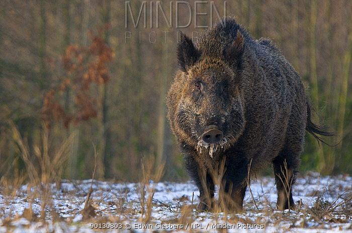 Wild boar (Sus scrofa) in woodland, the Netherlands, December 2008  -  Edwin Giesbers/ npl