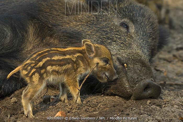 Wild boar (Sus scrofa) piglet and mother, the Netherlands, April  -  Edwin Giesbers/ npl