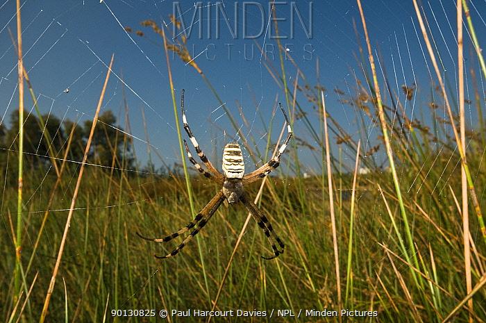 Orb Web Spider (Argiope bruennichi) female hanging in web, waiting for prey Italy, Europe  -  Paul Harcourt Davies/ npl