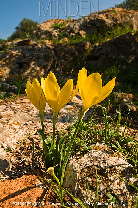 Common sternbergia, Autumn daffodil, Yellow autumn crocus (Sternbergia lutea) flowering in rocky, limestone based soil Italy, Europe  -  Paul Harcourt Davies/ npl