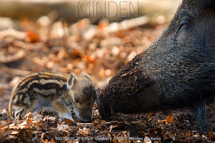 Wild boar (Sus scrofa) mother sniffing tiny piglet, the Netherlands, April  -  Edwin Giesbers/ npl