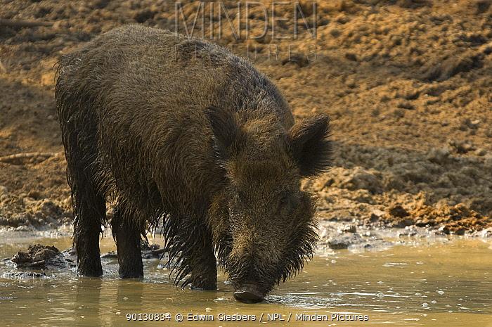 Wild boar (Sus scrofa) drinking, the Netherlands, April  -  Edwin Giesbers/ npl