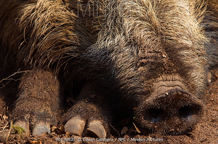 Wild boar (Sus scrofa) resting, close up of snout and trotters, the Netherlands, April  -  Edwin Giesbers/ npl