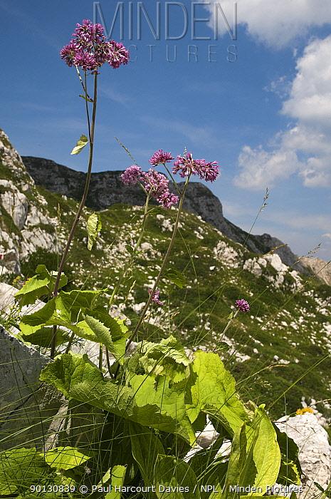 Adenostyles (Adenostyles alliariae) flowering in alpine meadow Mt Terminillo, Lazio, Apennine mountains, Italy, Europe  -  Paul Harcourt Davies/ npl
