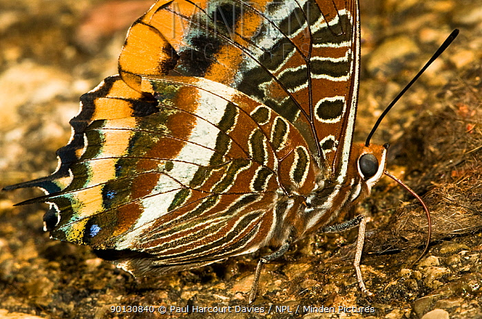 Two-tailed Pasha Butterfly (Charaxes jasius) feeding on juices from dung Italy, Europe  -  Paul Harcourt Davies/ npl