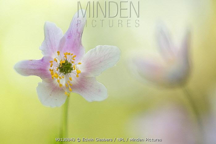 Wood anemone (Anemone nemorosa) flowers, Belgium, April  -  Edwin Giesbers/ npl