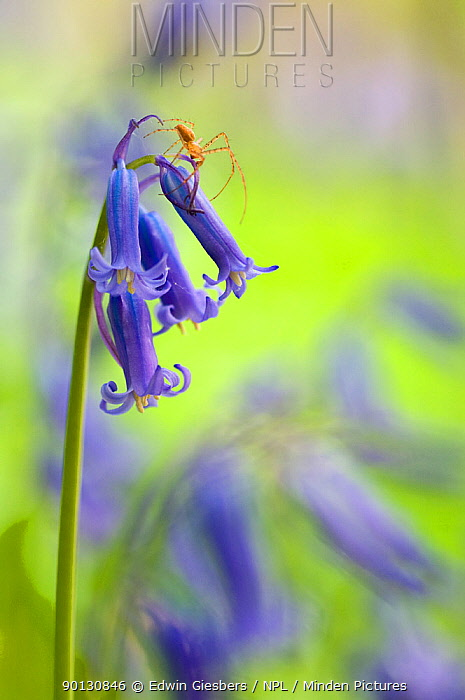 Spider on Bluebell (Hyacinthoides non-scripta, Endymion scriptum) flowers in Beech wood, Hallerbos, Belgium, April  -  Edwin Giesbers/ npl
