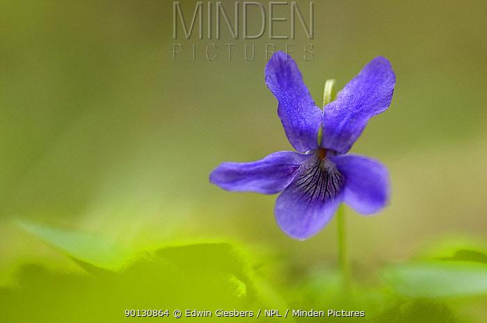 Common dog violet (Viola riviniana) flower, Belgium, October  -  Edwin Giesbers/ npl