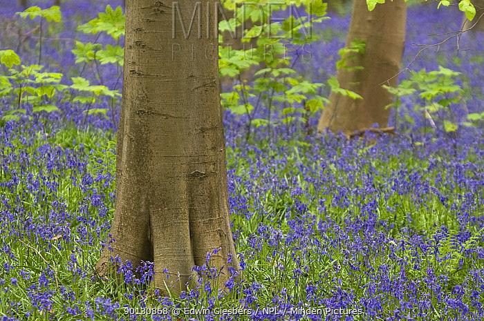 Bluebells (Hyacinthoides non-scripta, Endymion scriptum) flowering in Beech wood, Hallerbos, Belgium, April  -  Edwin Giesbers/ npl