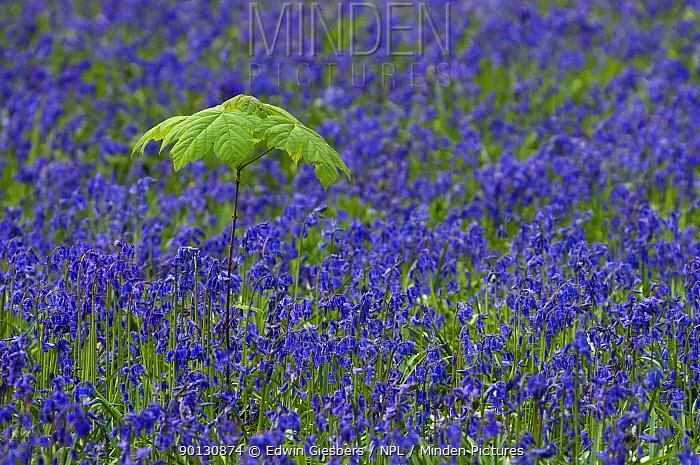 Carpet of Bluebells (Hyacinthoides non-scripta, Endymion scriptum) flowering in Beech wood with Sycamore (Acer pseudoplatanus) sapling, Hallerbos, Belgium, April  -  Edwin Giesbers/ npl
