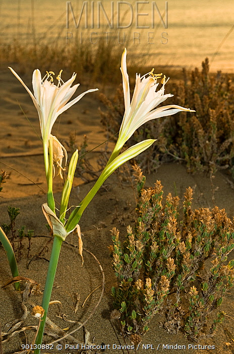 Sea Daffodil, Sea Lily (Pancratium maritimum) flowering on sand dunes late in the afternoon, and remains open overnight, when it is pollinated by the Convolvulus Hawkmoth (Herse convolvuli) Italy, Europe  -  Paul Harcourt Davies/ npl