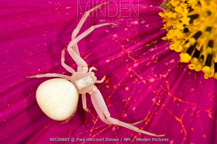 Crab, Goldenrod spider (Misumena vatia) alert and waiting for prey on a flower petal, in garden at Podere Montecucco, Italy, Europe  -  Paul Harcourt Davies/ npl
