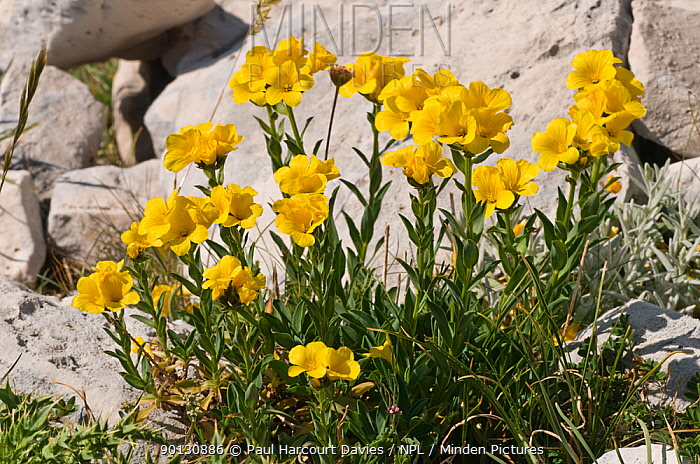 Yellow flax (Linum flavum) in flower, by a wall Apennine mountains, Italy, Europe  -  Paul Harcourt Davies/ npl