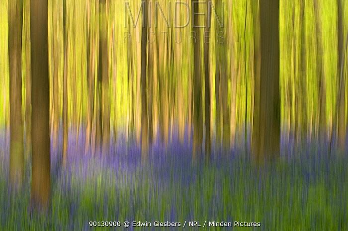 Bluebells (Hyacinthoides non-scripta, Endymion scriptum) flowering in Beech wood, Hallerbos, Belgium, April, long exposure  -  Edwin Giesbers/ npl
