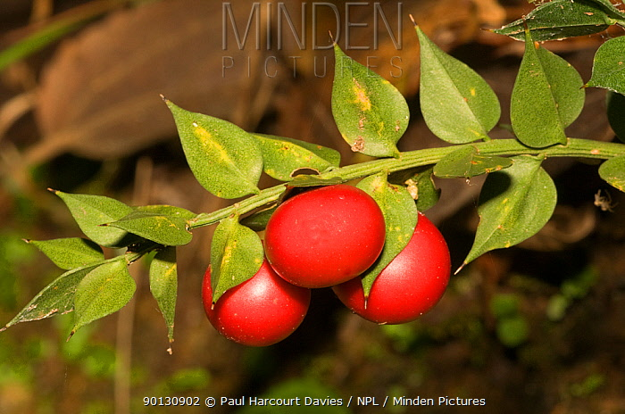 Butcher's broom (Ruscus aculeatus) single branch with red fruit, Orvieto, Italy, Europe  -  Paul Harcourt Davies/ npl