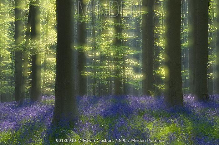 Sunlight on Bluebells (Hyacinthoides non-scripta, Endymion scriptum) flowering in Beech wood, Hallerbos, Belgium, April, long exposure  -  Edwin Giesbers/ npl