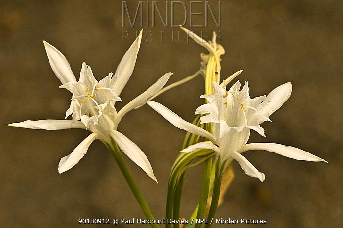 Sea Daffodils (Pancratium maritimum) flowering, Italy, Europe  -  Paul Harcourt Davies/ npl