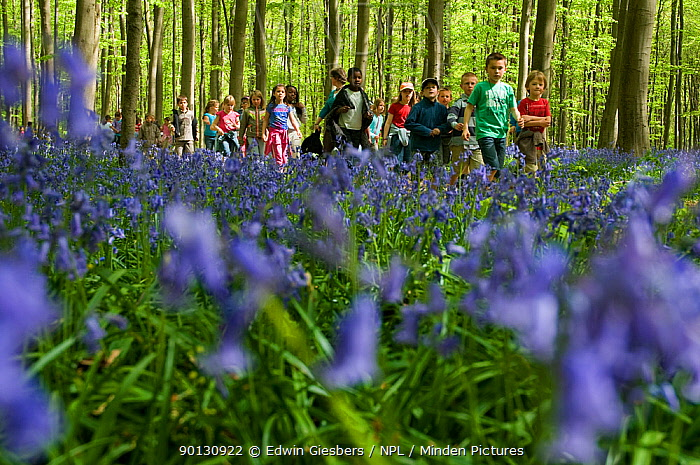 Group of children walking through a Beech wood with Bluebells (Hyacinthoides non-scripta, Endymion scriptum) in flower, Hallerbos, Belgium, April 2010  -  Edwin Giesbers/ npl