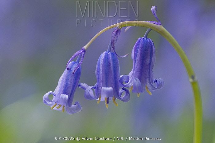 Bluebell (Hyacinthoides non-scripta, Endymion scriptum) in flower, Hallerbos, Belgium, April  -  Edwin Giesbers/ npl