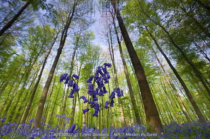 Bluebells (Hyacinthoides non-scripta, Endymion scriptum) flowering in beech wood, Hallerbos, Belgium, April, low angle shot  -  Edwin Giesbers/ npl
