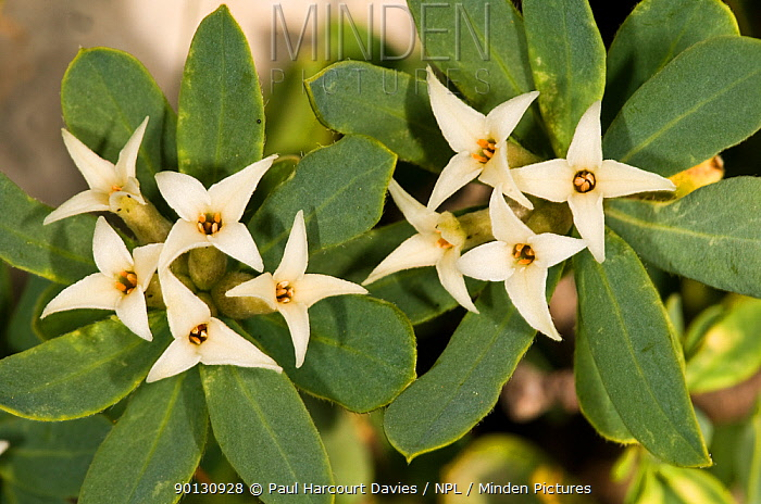 Daphne oleoides in flower This is a dwarf, highly fragrant, alpine shrub Toxic if in contact with skin Mt Simbruini, Apennine mountains, Italy, Europe  -  Paul Harcourt Davies/ npl