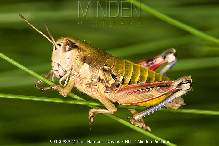 Brown mountain grasshopper (Podisma pedestris) resting on grass stems, Mt Terminillo, Apennine mountains, Italy, Europe  -  Paul Harcourt Davies/ npl