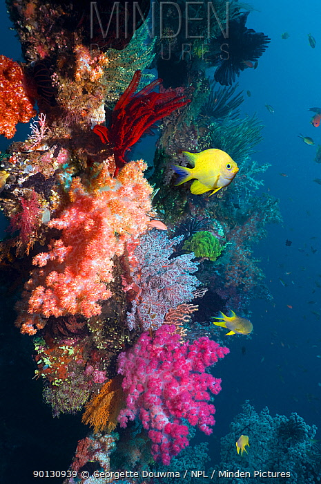 Golden damselfish (Amblyglyphidodon aureus) swimming past coral reef wall with colourful soft corals Bali, Indonesia  -  Georgette Douwma/ npl
