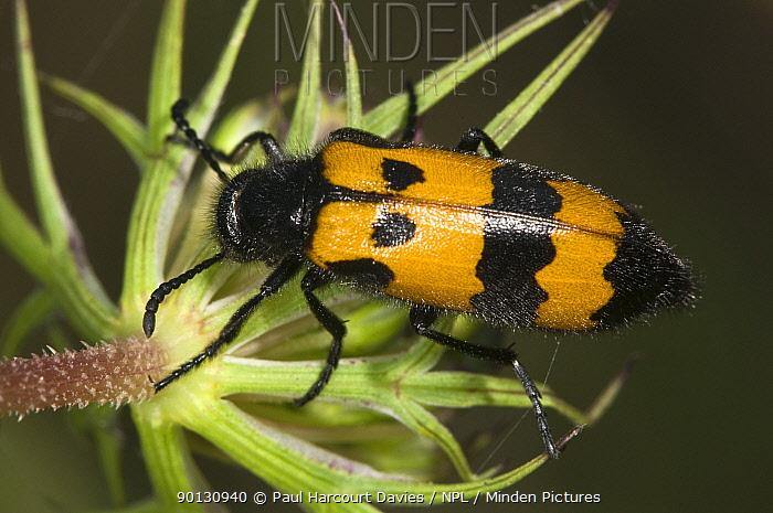Yellow Meloid, Blister Beetle (Mylabris variabilis) on flower feeding on pollen Italy, Europe  -  Paul Harcourt Davies/ npl