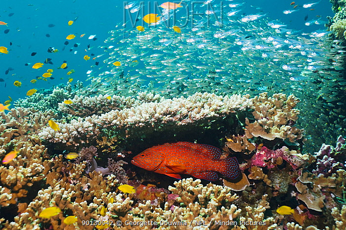 Coral hind (Cephalopholis miniata) lying in ambush under table coral on reef Andaman Sea, Thailand  -  Georgette Douwma/ npl