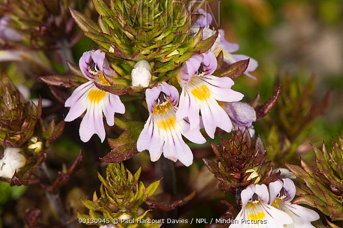 Alpine eyebright (Euphrasia alpina) close-up of flowering stem, on limestone scree, Italy, Europe  -  Paul Harcourt Davies/ npl