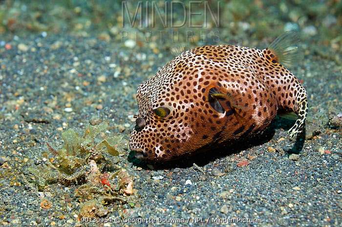 Scribbled, Map pufferfish (Arothron mappa), juvenile hunting on seabed Lembeh Strait, North Sulawesi, Indonesia  -  Georgette Douwma/ npl