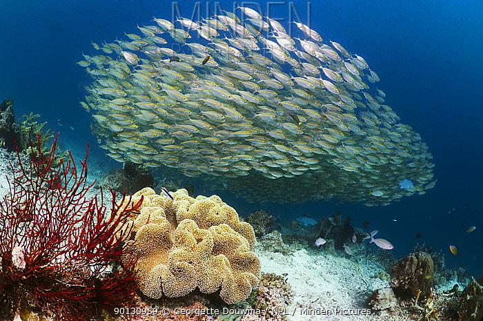 Shoal of Bigeye scad (Selar crunenophthalmus) schooling over coral reef Misool, Raja Empat, West Papua, Indonesia  -  Georgette Douwma/ npl