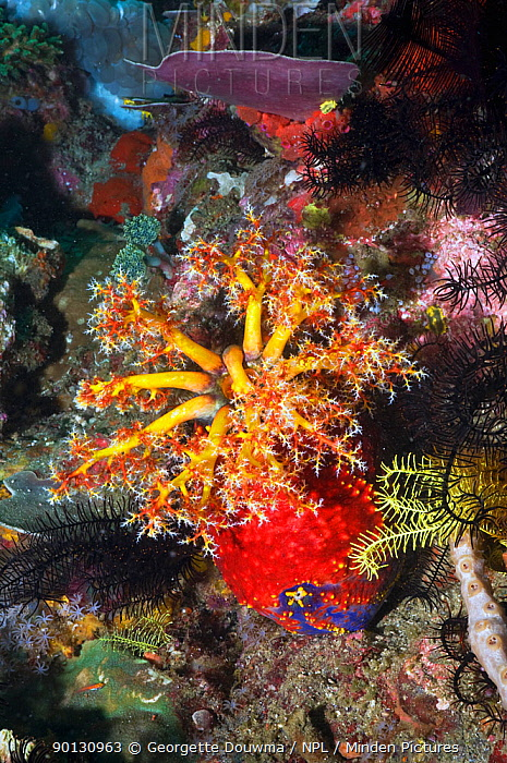 Sea apple (Pseudocolochirus violaceus), a sea cucumber, feeds by filtering the water column with its tentacular crown, successively bringing each arm into its mouth to deliver food particles Komodo National Park, Indonesia  -  Georgette Douwma/ npl