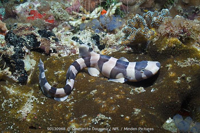 Brownbanded bamboo shark (Chiloscyllium punctatum), juvenile resting on coral reef, Komodo National Park, Indonesia  -  Georgette Douwma/ npl