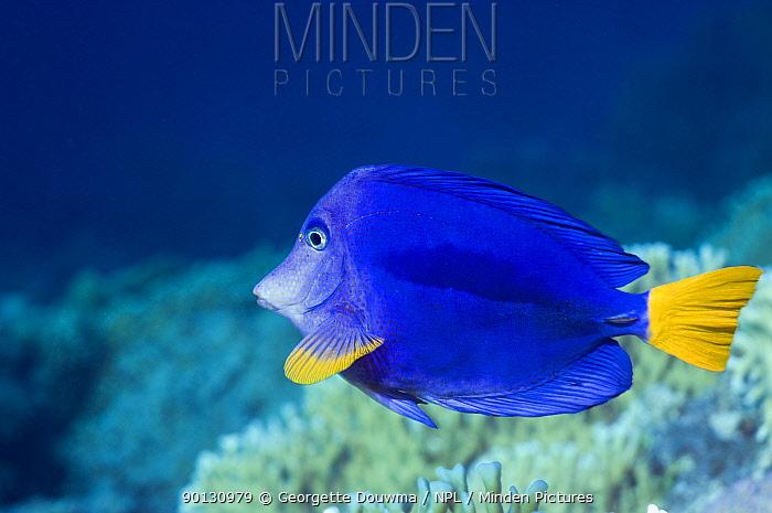 Yellowtail tang, surgeonfish (Zebrasoma xanthururm) Red Sea, Egypt  -  Georgette Douwma/ npl