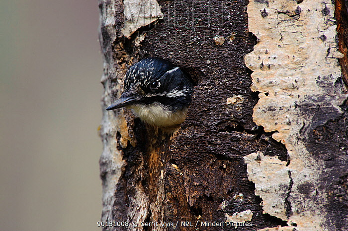 American Three-toed Woodpecker (Picoides dorsalis) female, with head emerging from nest cavity in tree trunk Alberta, Canada May  -  Gerrit Vyn/ npl