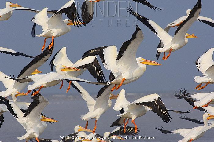Flock of American White Pelicans (Pelecanus erythrorhynchos) taking flight Texas, USA, March  -  Gerrit Vyn/ npl