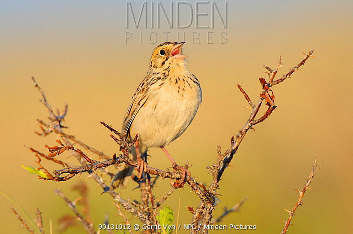 Baird's Sparrow (Ammodramus bairdii) singing Southeast Alberta, Canada May  -  Gerrit Vyn/ npl