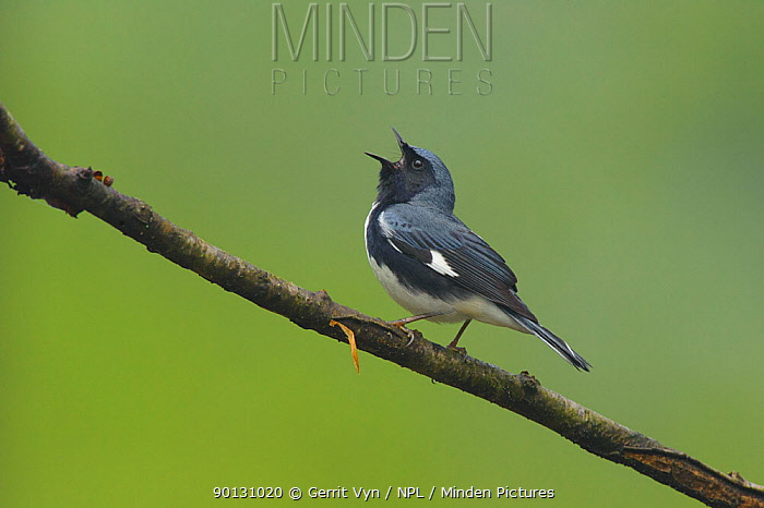 Black-throated Blue Warber (Dendroica caerulescens) male in breeding plumage, singing Tompkins County, New York, USA, May  -  Gerrit Vyn/ npl
