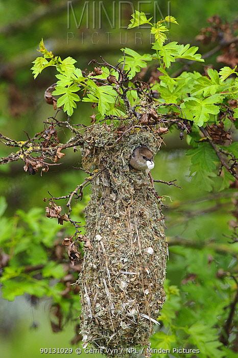 Bushtit (Psaltriparus minimus) male leaving its nest with an egg shell fragment King County, Washington, USA, May  -  Gerrit Vyn/ npl
