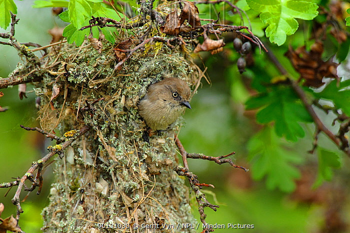 Bushtit (Psaltriparus minimus) female leaving her nest King County, Washington, USA, May  -  Gerrit Vyn/ npl
