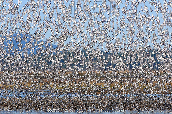 Large flock of Dunlin (Calidris alpina) arriving to roost in a shallow pond on the Skagit Delta in winter Skagit County, Washington, USA, December  -  Gerrit Vyn/ npl