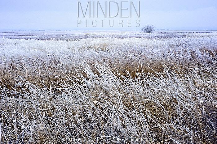 Frosty tule marsh in winter Lower Klamath National Wildlife Refuge, Siskiyou County, California, USA, December 2009  -  Gerrit Vyn/ npl