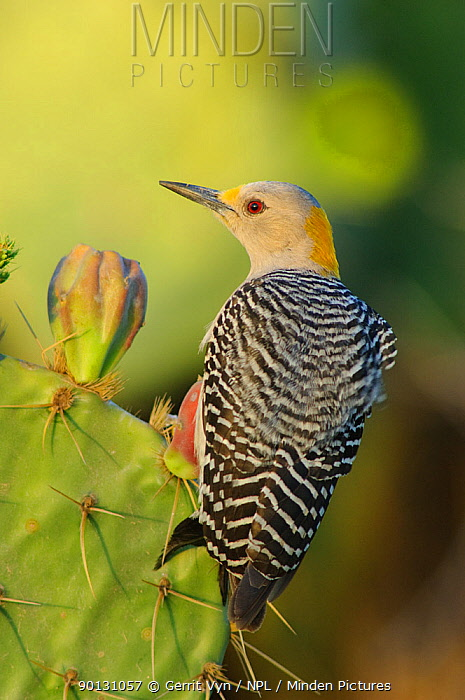 Golden-fronted Woodpecker (Melanerpes aurifrons) portrait of female (subspecies M a aurifrons) perched on Cacti, Starr County, Texas, USA, March  -  Gerrit Vyn/ npl