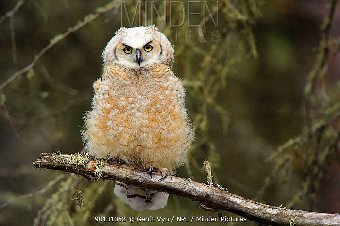 Great Horned Owl (Bubo virginianus) fledgling chick, perched on branch, Cold Lake Provincial Park, Alberta, Canada May  -  Gerrit Vyn/ npl