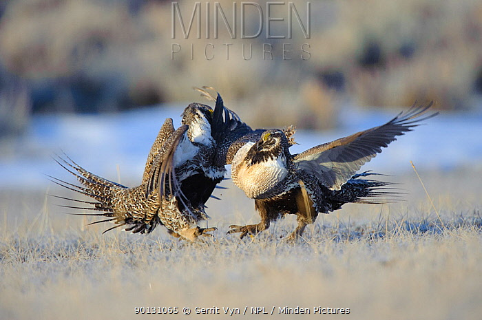 Two Greater Sage-Grouse (Centrocercus urophasianus) males fighting on a lek Freemont County, Wyoming, USA, March  -  Gerrit Vyn/ npl