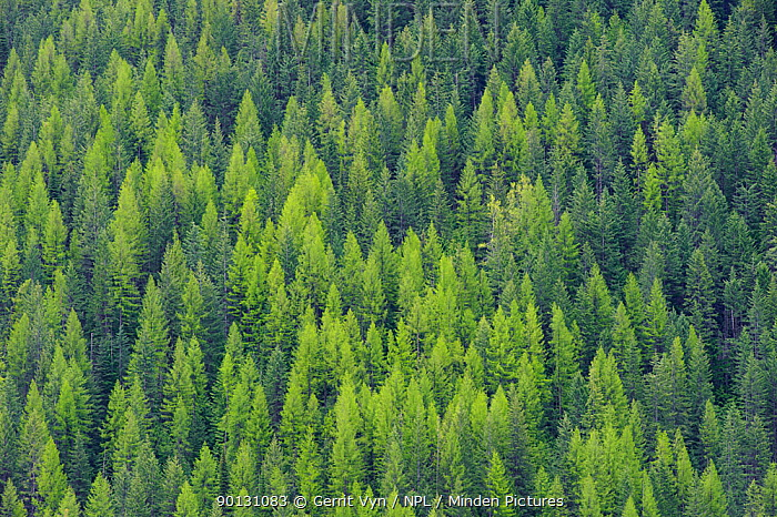 Aerial view of Larch (Larix sp) and Fir forest Kootenay Pass, British Columbia, USA, May 2010  -  Gerrit Vyn/ npl