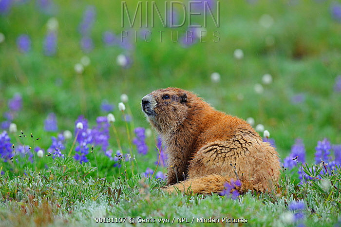 Adult Olympic Marmot (Marmota olympus) sitting amongst Lupin flowers More than 90 percent of this species population lives within the boundaries of Washington's Olympic National Park, USA,  -  Gerrit Vyn/ npl